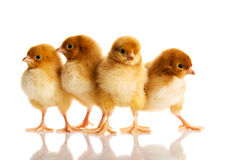 Group of small chicks. Stock Images