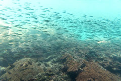 Group of small coral fish move. Ment underwater view Royalty Free Stock Photo