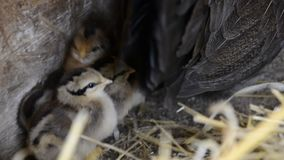 A group of small cute chicks walks in the henhouse. Close up of colorful few days old chickens with their mother in a chicken coop. Poultry farming stock footage