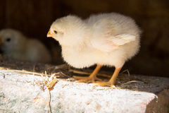 A group of small cute chicks walks in the henhouse. Close up of colorful few days old chickens with their mother in a chicken coop Royalty Free Stock Images