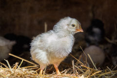 A group of small cute chicks walks in the henhouse. Close up of colorful few days old chickens with their mother in a chicken coop Stock Image