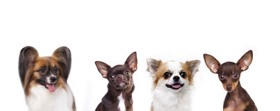 Group of small decorative dog Royalty Free Stock Images