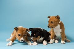 Three basenji puppies playing at isolated blue background. Stock Photos