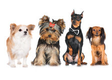 Group of small dogs. On white Royalty Free Stock Photo