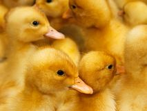 Group of  small domestic ducklings Stock Photography
