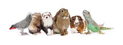 Group of Small Domestic Pets Over White. Row of five common small domestic pets sitting together over white - bird, ferret, bunny, guinea pig and iguana lizard Royalty Free Stock Image