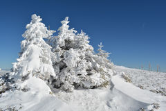 Group of small fir trees covered by snow Royalty Free Stock Photography