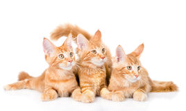 Group of small ginger maine coon cats lying in front view. isola Royalty Free Stock Photos