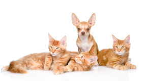 Group of small ginger maine coon cats with tiny chihuahua puppy. isolated ob white Royalty Free Stock Photo