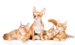 Group of small ginger maine coon cats with tiny chihuahua puppy. Royalty Free Stock Image