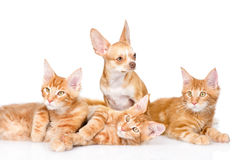 Group of small ginger maine coon cats with tiny chihuahua puppy. isolated on white Royalty Free Stock Photography