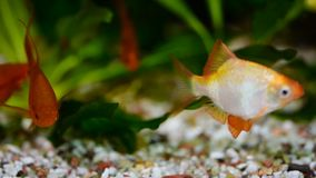 Group of a small Gold Barb fish in an Aquarium. HD stock video footage