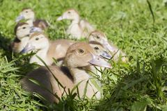 Group of small gray ducks sitting on the grass stock image