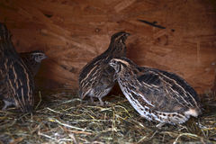 Group of small Japanese quails in a wooden cage on tha barnyard royalty free stock photo
