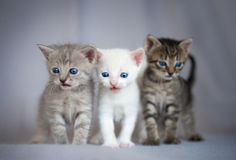 Group of small kittens Royalty Free Stock Photo