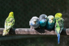 Group of small parakeets Royalty Free Stock Photography