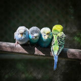 Group of small parakeets Stock Photo