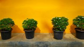 Small Potted Plants on Yellow Wall Background Royalty Free Stock Photos