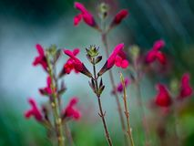 A group of small red sage brush flowers stock photo