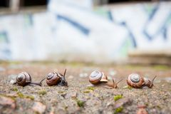 Group of small snails going forward royalty free stock photo