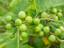 Group small vegetable of Solanum torvum on the tree. Royalty Free Stock Images