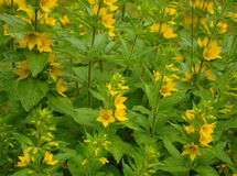 Group of small yellow flowers. The group of small yellow flowers on a green background stock photo