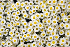 Group of small yellow and white flowers Stock Image