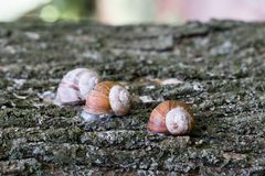 Group of snails climbing up on a tree. stock photos