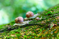 Group of snails climbing up on a tree Stock Image