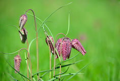 A Group of Snake`s Head Fritillary royalty free stock photography