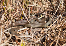 Group of snakes bask in the sun dry grass. Royalty Free Stock Photography