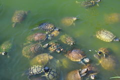 A group of snapping turtles. A bunch of snapping turtles in a pond on Jamaica in the caribbean stock photos