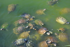 A group of snapping turtles. In a pond on jamaica in the caribbean stock photography
