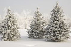 Group of snow covered evergreens with white covered trees in background and snow ground cover in winter. Group of three snow covered evergreens with white stock photography