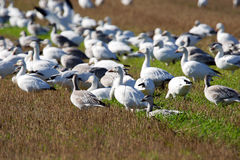 Group of Snow geese in field Stock Photo