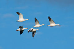 Group of Snow Geese Stock Photos