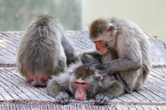 Group of snow monkeys grooming Stock Photo
