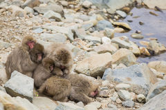 Group of Snow Monkeys Huddling and Grooming. While some of this group of fuzzy brown wild snow monkeys clasp and hug each other in a huddle to preserve heat and Stock Image