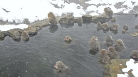 Group of snow monkeys relaxing in a natural hot-spring, Jigokudani, Nagano, Japan. Stock Photo