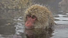 Group of snow monkeys relaxing in a natural hot-spring, Jigokudani, Nagano, Japan. Royalty Free Stock Image