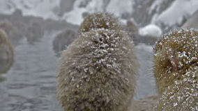Group of snow monkeys relaxing in a natural hot-spring, Jigokudani, Nagano, Japan. Royalty Free Stock Photo