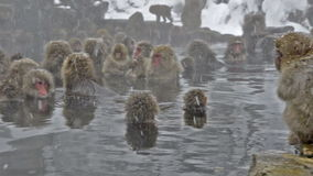 Group of snow monkeys relaxing in a natural hot-spring, Jigokudani, Nagano, Japan. Royalty Free Stock Photos