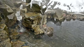 Group of snow monkeys relaxing in a natural hot-spring, Jigokudani, Nagano, Japan. Stock Images