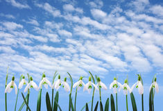 Group of snowdrop flowers  growing in row over sky Stock Image