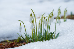 Group of snowdrop flowers Stock Photography