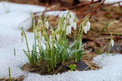 Group of snowdrop flowers Stock Photo