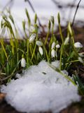Group of snowdrop flowers  growing in snow Royalty Free Stock Image