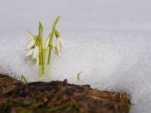 Group of snowdrop flowers  growing in snow Stock Photos