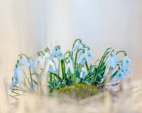 Group of snowdrop flowers Stock Photos