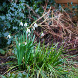 Group of snowdrop spring flowers  in the wilde garden Stock Photography